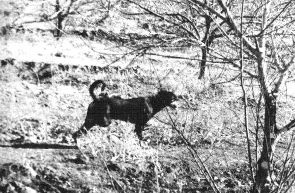 Моя первая собака - доберман Джек