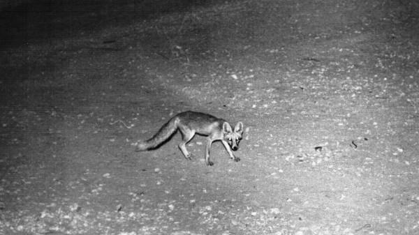 Подвид лисицы обыкновенной - лисица туркменская