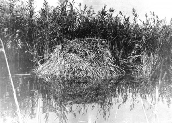 Ондатровая хатка в дельте Аму-Дарьи (Приаралье)