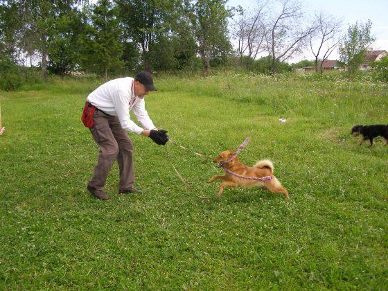 Карело-финская лайка Джесси (подготовка к охоте на боровую дичь)