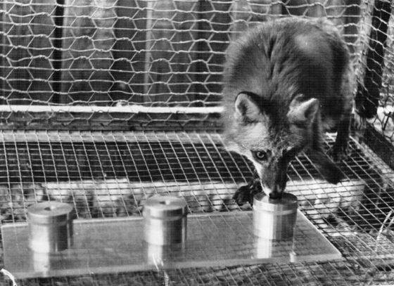 Эксперименты по изучению обоняния у представителей семейства собачьих (лисица)