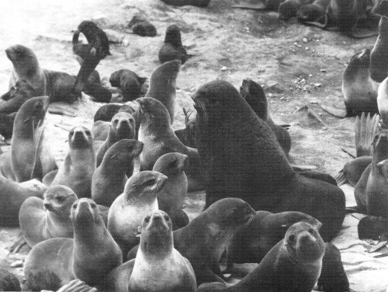 Гарем секача северного морского котика (л-ще Урилье, о. Медный)
