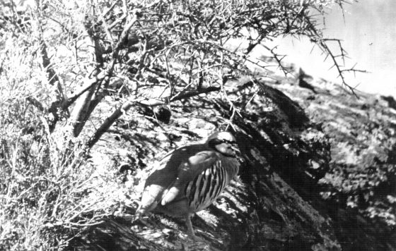 Горная куропатка - кеклик