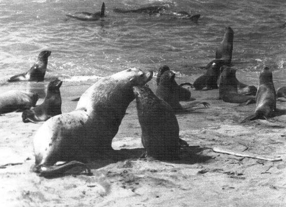 Конфликт между сивучем (морским львом) и секачом северного морского котика (о. Медный)