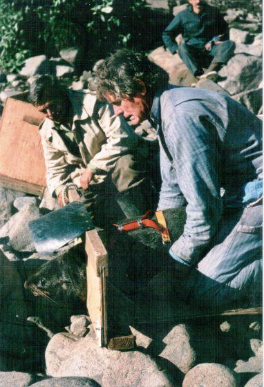 Роджер Джентри (морская лаборатория, Сиэтл) устанавливает космическую метку (TDR) на самку с.м.к. (о. Медный, 1990 г)