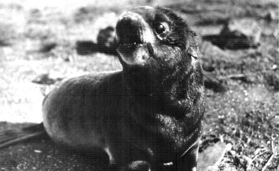 Щенок северного морского котика