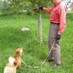 Карело-финская лайка Джесси осваивает охотничью специальность