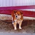 Маленькая собачка ждет владельца у супермаркета