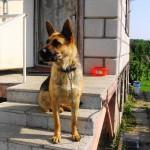 Собака сидит у двери дома на цепи