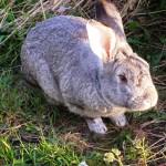 Кролик выживший после нападения лисицы