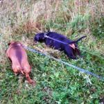 Две таксы натянув поводки, полезли в пожухшую траву