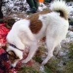 Собаки только обнюхивали следы крови на земле