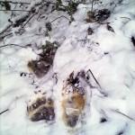Следы кабана и преследующего его медведя скрывались в овраге