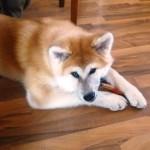 Порода собак: Акита-ину - СОБАКА БЕЗ ПРОБЛЕМ