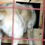 Нора заглядывает в будку и съедает корм у передней стенки будки