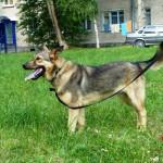 Метис по кличке Алтай оказался смелой собакой