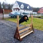 Ризеншнауцер Варг с удовольствием апортирует тяжелую гантель, прыгая с ней через барьер