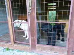 Ризеншнауцер  Варг и среднеазиатская овчарка Нора ждут дрессировщика