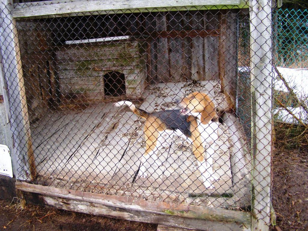 В охотничьих хозяйствах еще можно найти такие убогие вольеры для собак, что лучше всего говорит о культуре содержания охотничьих собак