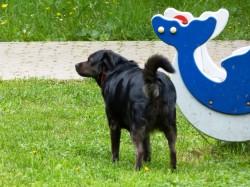 Крупная собака свободно ходит по детской площадке
