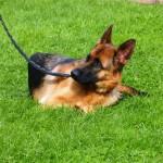 Немецкая овчарка Зафи. У уставшей собаки мотивация на нуле