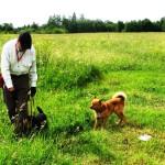 Ягдтерьер Шварц обучается не реагировать на других собак