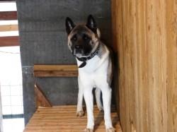 Акита-ину Джерри - уверенное поведение доминантной собаки