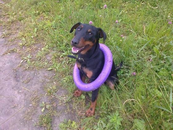 Ягдтерьер Пирс - собака без вредных привычек
