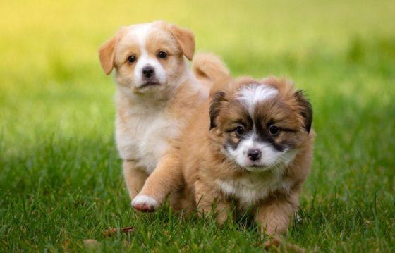 Дрессировать собак надо с щенячьего возраста