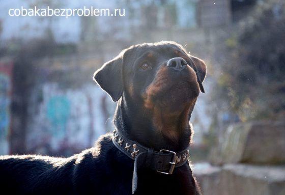 Использование вариативного подкрепления в дрессировке собак