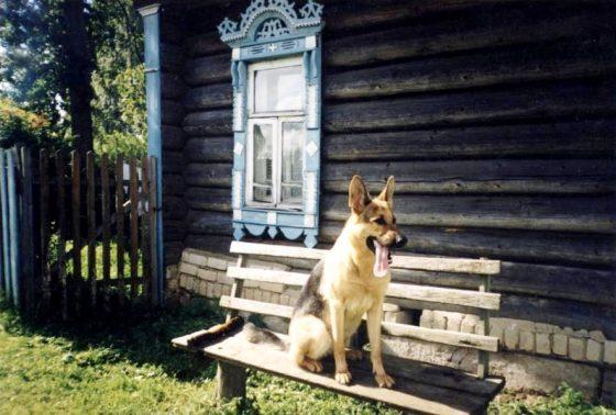 Немецкая овчарка Патра - пример доминантной агрессии к члену семьи