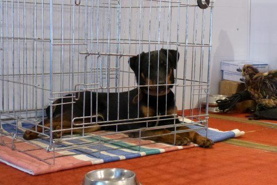Клетка для собаки. Ягдтерьер Шер отдыхает после занятия