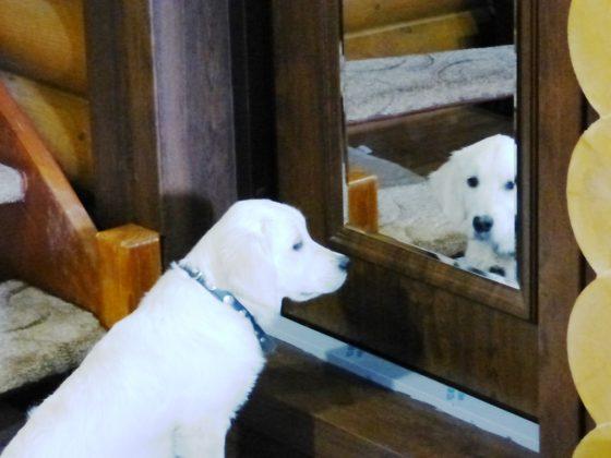 Золотистый ретривер Мия научилась наблюдать за своими владельцами в зеркало