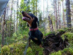 Такса Гавр во время прогулки в лесу